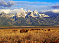 4-1066 - Grazing at the base of the Tetons