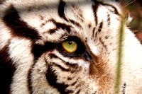 6-1192 Eye of the White Tiger