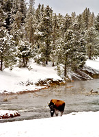 7-0252 - Bison at Fire Hole River