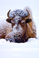 7-0208 - Snow Face Bison