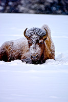 7-0206 - Bison after a Snow